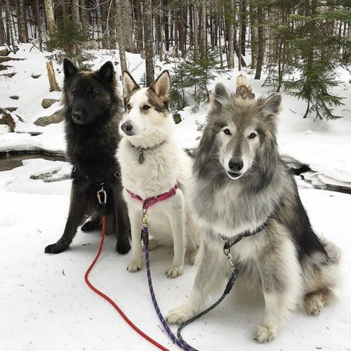 native american indian dog dogs