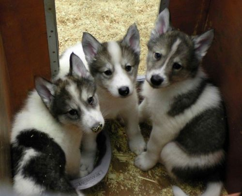 native american indian dog puppies