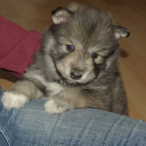 native american indian dog puppy