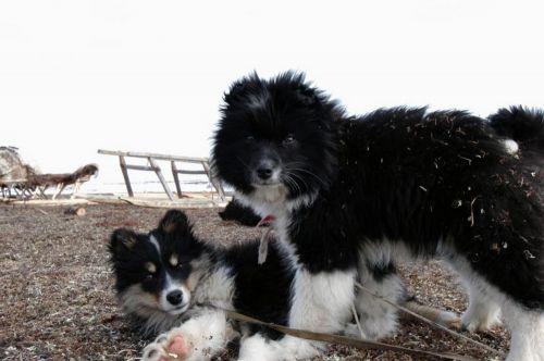 nenets herding laika puppies