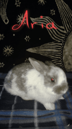 Netherland Dwarf rabbit Rabbits for sale in St Clair, PA, USA. price 50USD