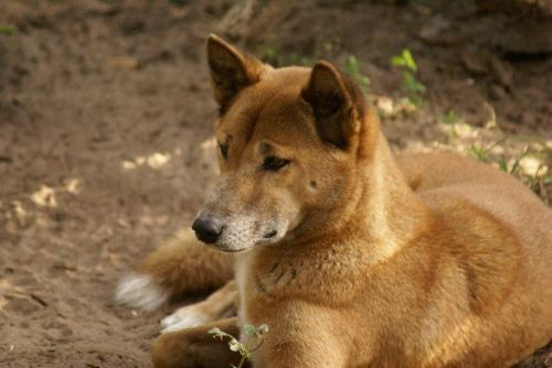 new guinea singing dog dog