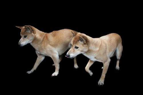 new guinea singing dog dogs