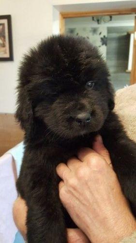Newfoundland Dog For Sale Houston Tx