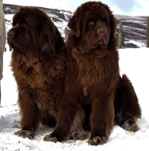 newfoundland dog dogs