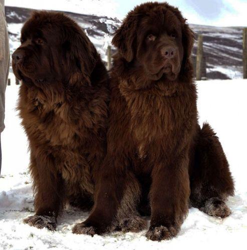 newfoundland dog dogs