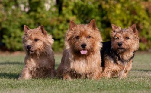 norfolk terrier dogs