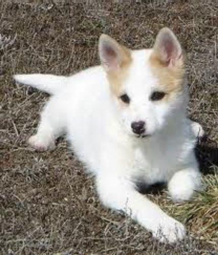 norrbottenspets puppy