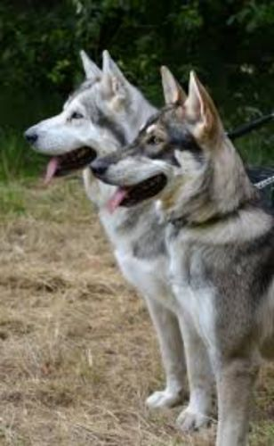 northern inuit dog dogs