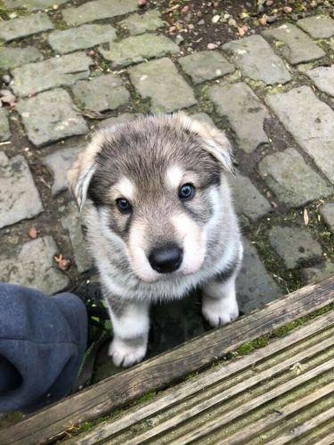 northern inuit dog puppy