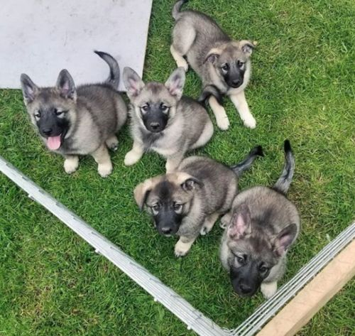 norwegian elkhound puppies