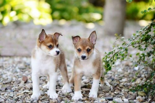 norwegian lundehund puppies