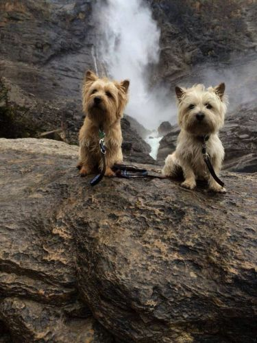 norwich terrier dogs