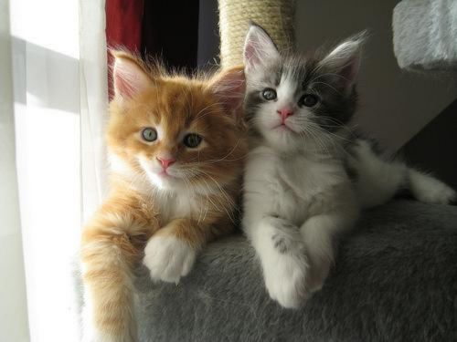 ojos azules kittens