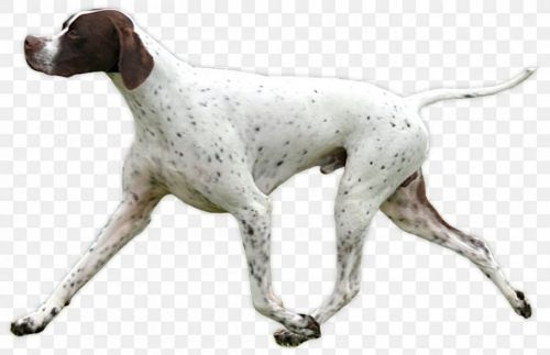 old danish pointer dog