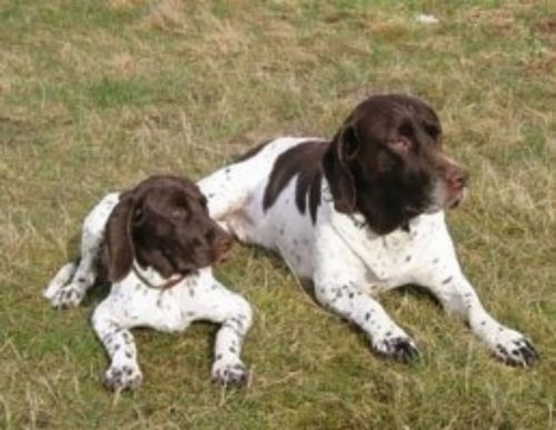 old danish pointer dogs