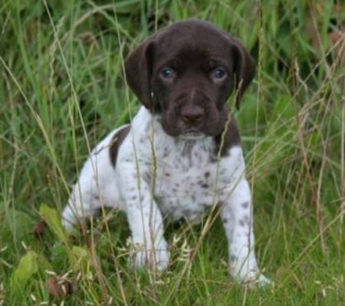old danish pointer puppy