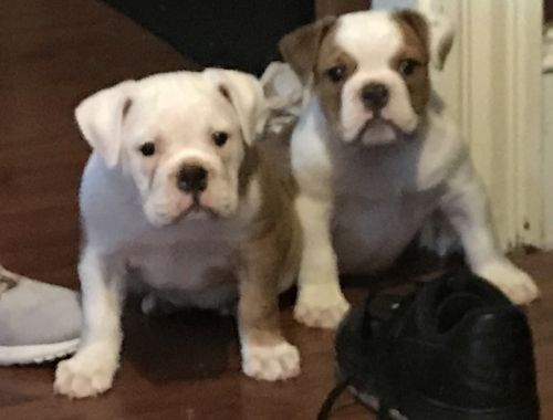 Old English Bulldog Puppies for sale in New Bedford, MA 02740, USA. price -USD