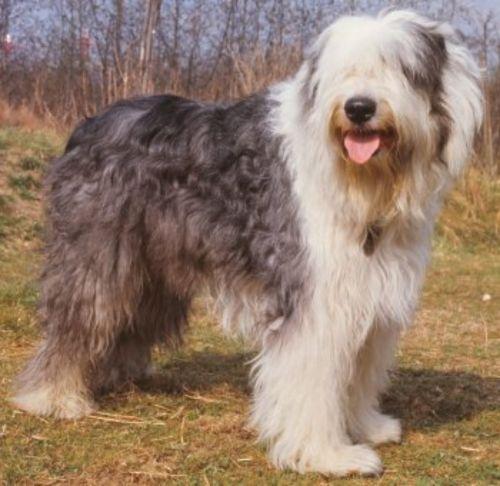old english sheepdog dog