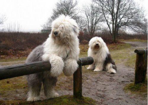 old english sheepdog dogs