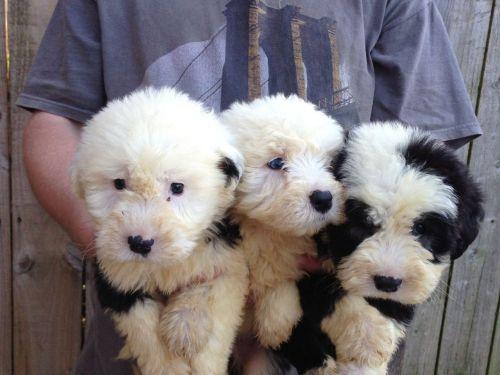 old english sheepdog puppies