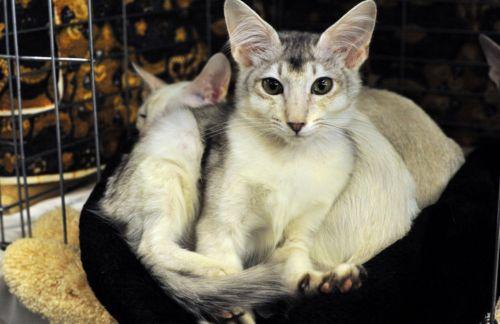 oriental longhair cats