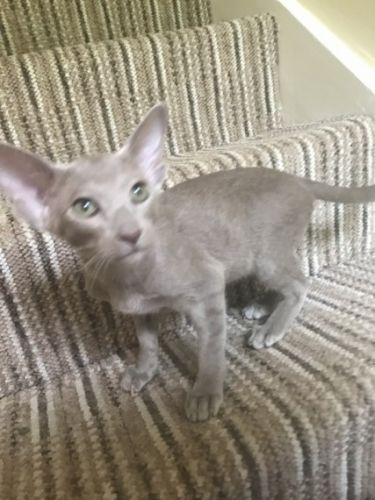 Oriental Shorthair Cats for sale in Los Angeles, CA, USA. price 590USD