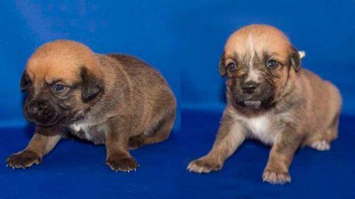 osterreichischer kurzhaariger pinscher puppies
