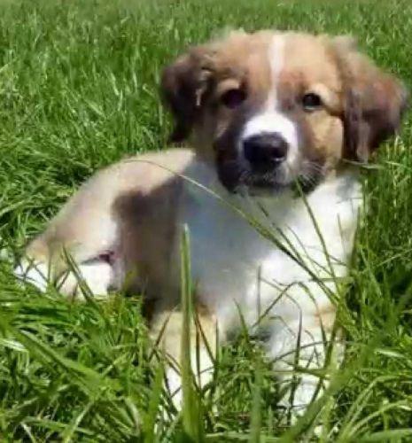 osterreichischer kurzhaariger pinscher puppy
