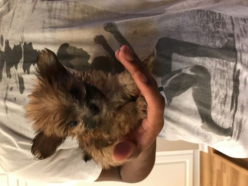 Other Puppies for sale in West Bloomfield Township, MI 48322, USA. price 500USD