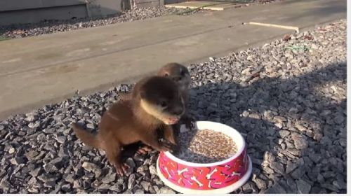 Otter Animals for sale in Bellevue, WA, USA. price 600USD