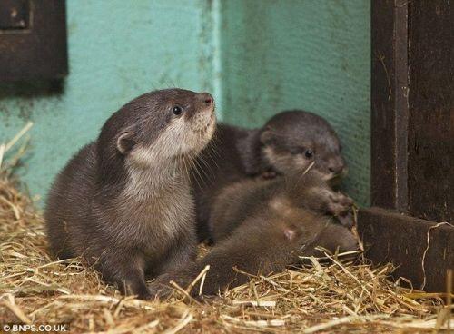 Otter Animals for sale in Bennington, KS 67422, USA. price 700USD