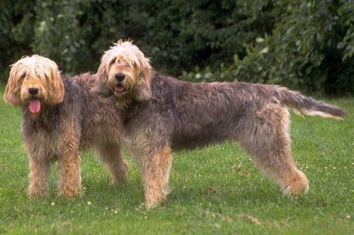otterhound dogs