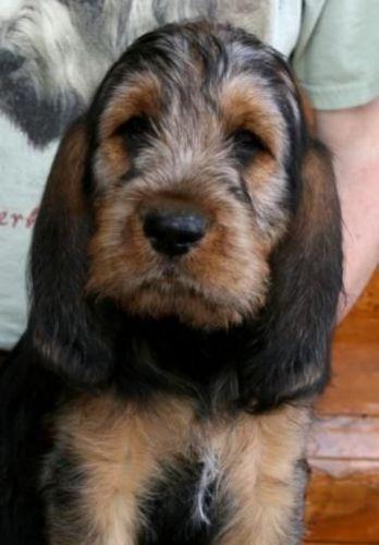 otterhound puppy