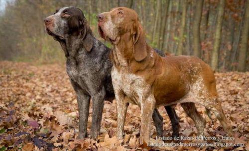 pachon navarro dogs