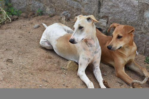 pandikona dogs
