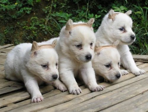 pandikona puppies