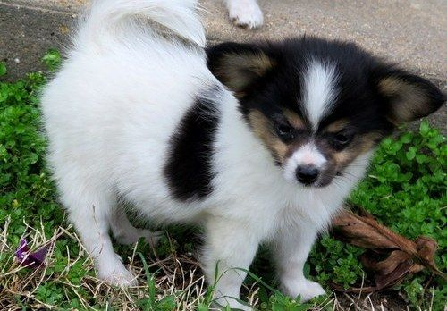 Papillon puppies for sale seattle wa 199855 petzlover for Papillon new york