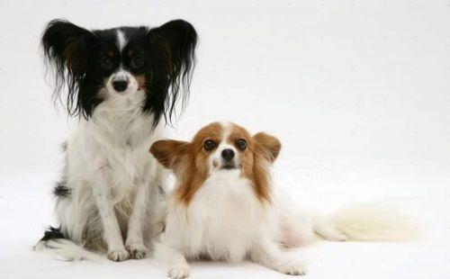 papillon puppies