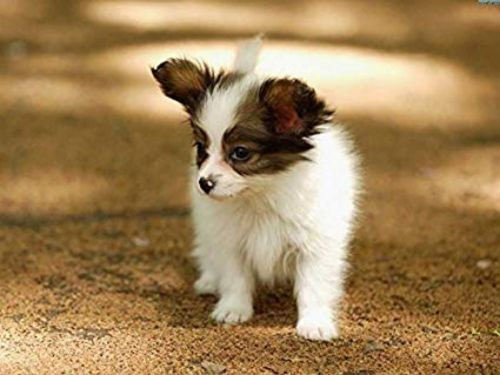 papillon puppy