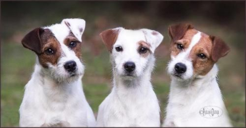 parson russell terrier dogs
