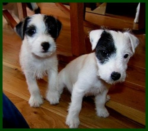 parson russell terrier puppies