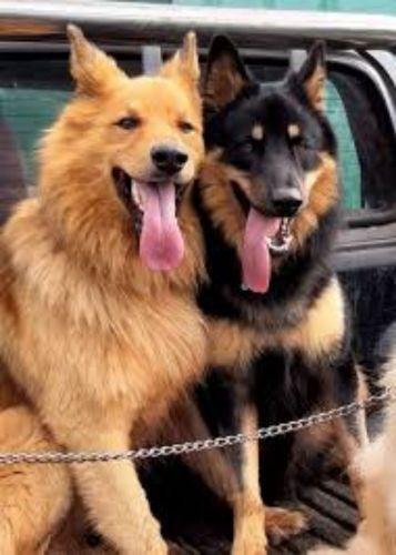 pastor garafiano dogs