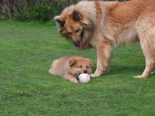 pastor garafiano puppy