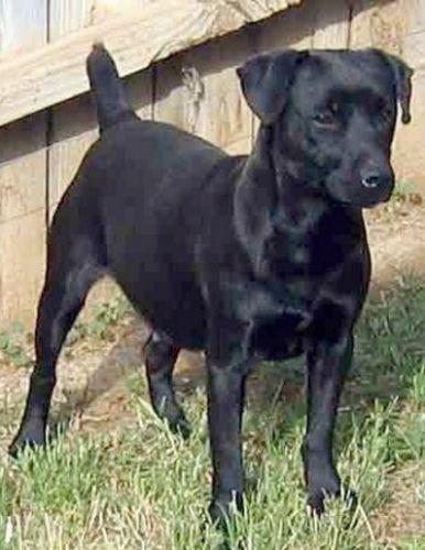 patterdale terrier dog