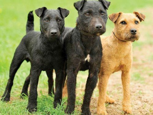 patterdale terrier dogs