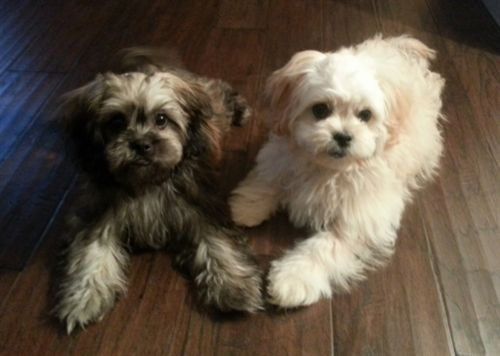 pekepoo dogs