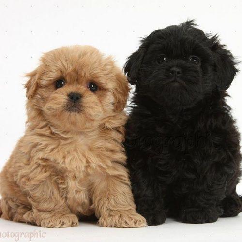 pekepoo puppies