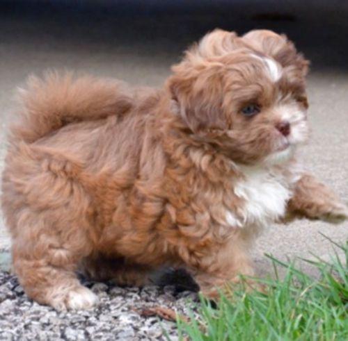 pekepoo puppy