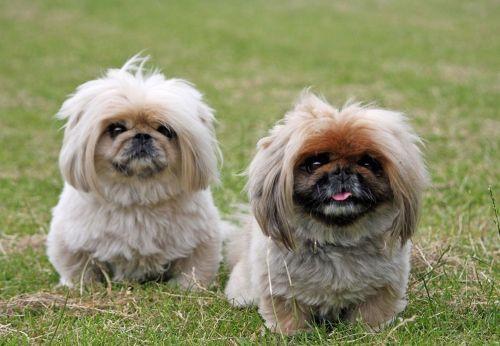 pekingese dogs